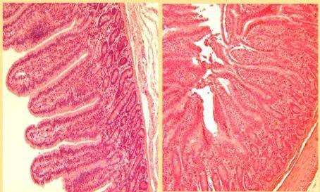 Epithélium intestinal sain vs Epithélium intestinal lors de stress de chaleur : les jonctionss entre les cellules sont détruites et laissent passer les toxines (Pearce 2011)