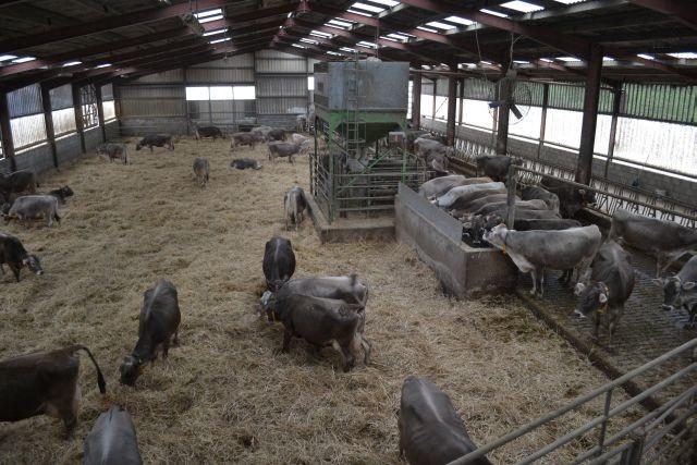 Gaec du Thorey 900 m² d'aire paillée pour 90 vaches brunes
