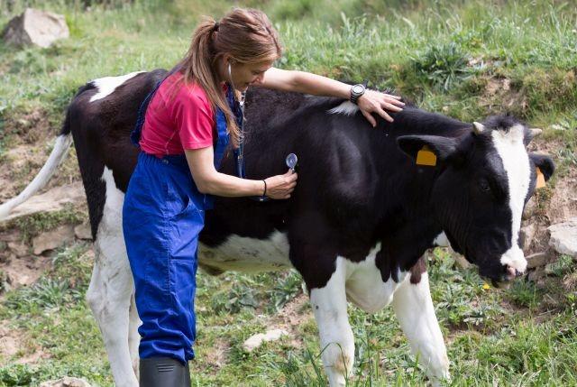 Le Botulisme en troupeau laitier peut engendrer jusqu'à 100 % de pertes (@Adobe Stock)